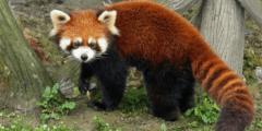 حقائق ومعلومات عن حيوان الباندا الأحمر