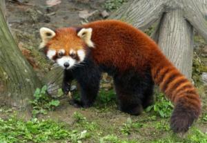 1 300x207 - حقائق ومعلومات عن حيوان الباندا الأحمر