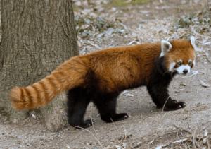 300x211 - حقائق ومعلومات عن حيوان الباندا الأحمر