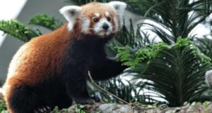 1 300x161 - حقائق ومعلومات عن حيوان الباندا الأحمر