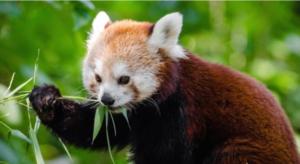 300x164 - حقائق ومعلومات عن حيوان الباندا الأحمر