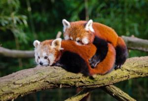 300x204 - حقائق ومعلومات عن حيوان الباندا الأحمر