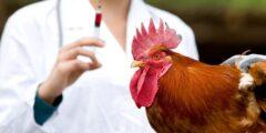 أعراض و طرق انتقال انفلونزا الطيور