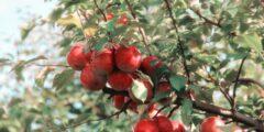 فوائد التفاح الصحية.. يساعد في إنقاص الوزن ويحمي صحة القلب