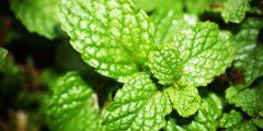 فوائد النعناع الساخن… أسباب كثيرة تجعلك تتناوله يوميًا.. أهمها رائحة الفم