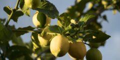 فوائد الليمون لتقوية المناعة