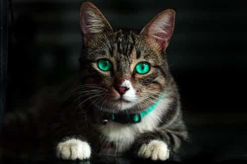 ما هي طريقة التخلص من براغيث القطط ؟!