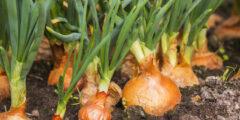 كيفية زراعة البصل والحصول على أفضل محصول زراعي