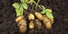 كيفية زراعة البطاطس ورعايتها
