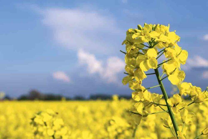 السلجم - نبات السلجم أو الكانولا فوائده و أضراره