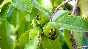 فوائد أوراق الجوافة.. إليك 13 فائدة مذهلة