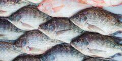 السمك البلطي.. إليكم فوائده وأضراره بالتفصيل