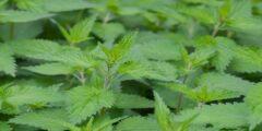 إليكم أهم فوائد استعمال نبات القراص