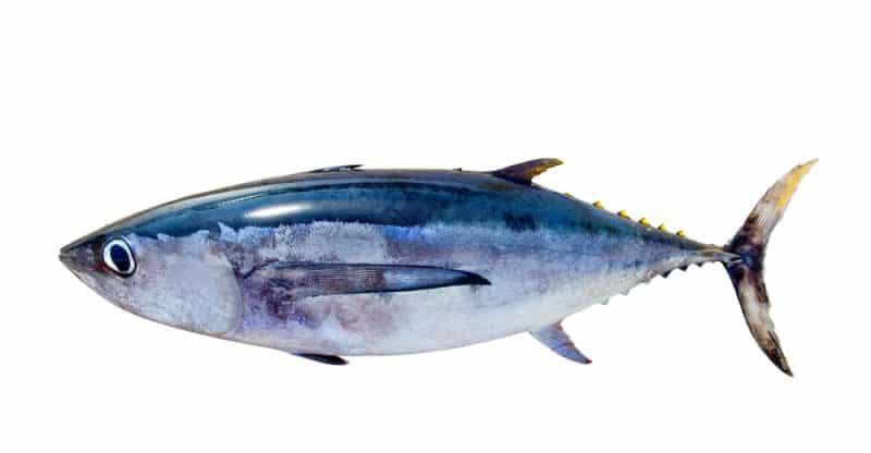 الفوائد الصحية لأسماك التونة المذهلة.. إليك أبرز 11 فائدة تجعلك تتناوله