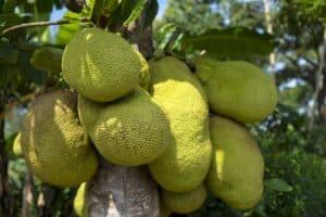 jackfruit 2108869 1920 300x200 - أندر أنواع الفواكه بالعالم (فواكه سوف تذهلك )