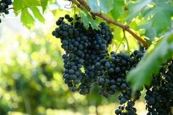 هل سمعت من قبل عن فوائد بذور العنب؟!